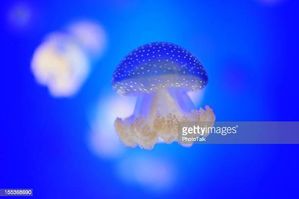 Jellyfish - XLarge