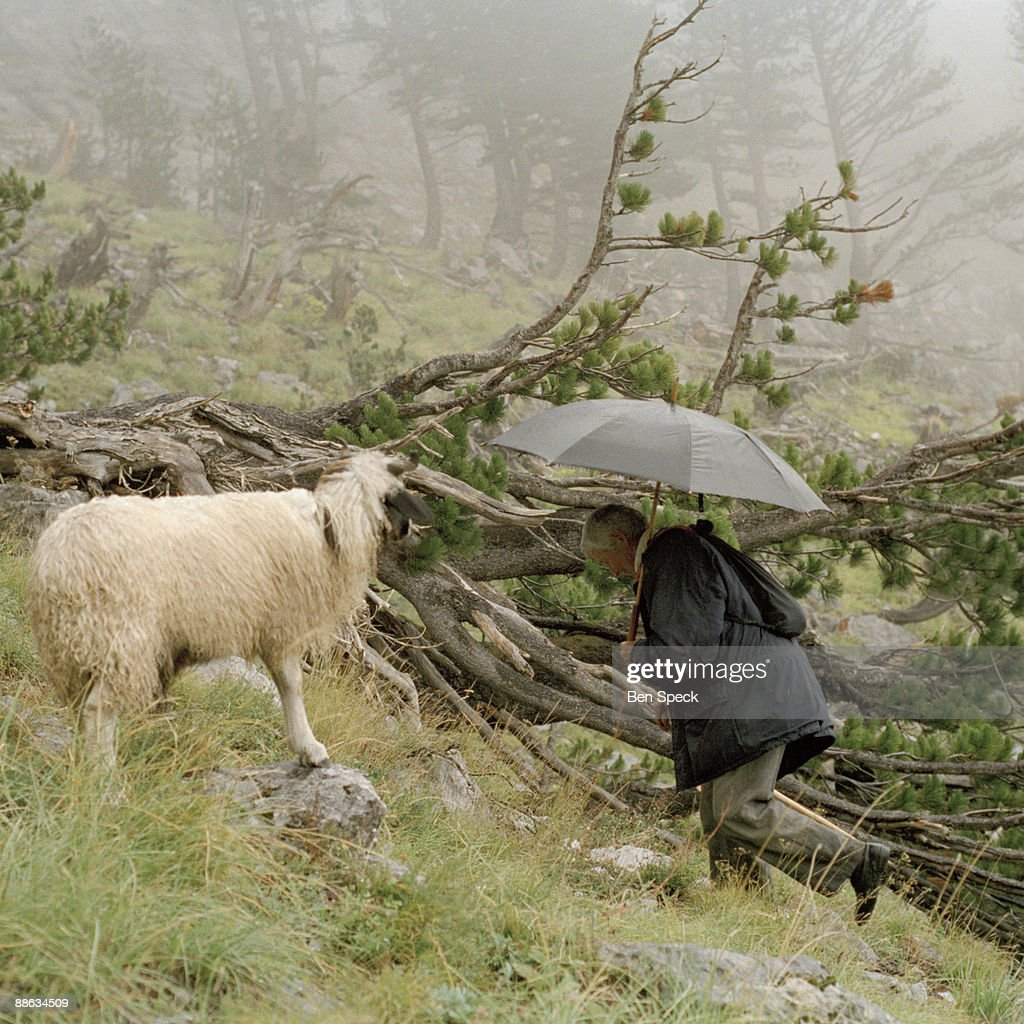 Jemine Zecja, aged 70, and one of her sheep called 'Nuse', meaning wife. Jemine knows all her 40 sheep by name, and says they are her companions. In the patriarchal rural Albanian society the age-old tradition of the Virgjineshe ('sworn virgins') gives women the choice of taking on a male identity in order to enjoy male privileges. Becoming a 'sworn virgin' means to vow lifelong celibacy and to turn into a surrogate son to her father. The reasons for taking the vow are a lack of sufficient men in a family to carry out the men's work, or the lack of a headstrong man to become the head of the family. A woman might also escape an unwanted arranged marriage, without damaging family honour or she might want to be independent to travel and work as she pleases. Often the decision is made by the family head e.g. her father, grandfather or uncle. The girl or woman then acquires a male name, male clothes and a male haircut. With the new status she obtains all the male privileges, such as inheriting property, making decisions within the family and the community, being able to carry weapons, taking part in blood feuds and socializing freely with men. They are completely accepted and addressed as men by other members of their community and often behave more manly than the men. The occurrence of Tobelija is most common in and around Bjesket e Nemuna (The Accursed Mountains) covering the northern regions of Albania and bordering regions of Montenegro and Kosovo.