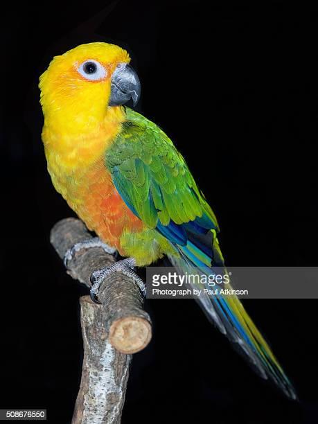 jenday conure, jandaya parakeet, aratinga jandaya - パラキート ストックフォトと画像