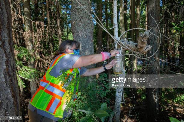 Jenni Cena, pest biologist and trapping supervisor from the Washington State Department of Agriculture , checks a trap designed to catch Asian Giant...