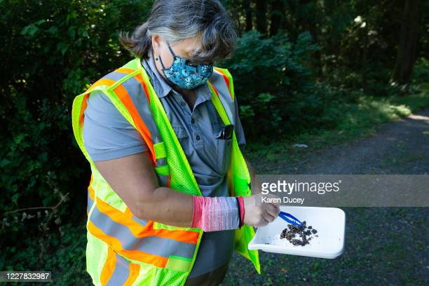 Jenni Cena, pest biologist and trapping supervisor from the Washington State Department of Agriculture , checks specimens found in a trap designed to...