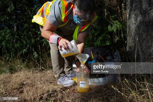 Jenni Cena, pest biologist and trapping supervisor from the Washington State Department of Agriculture , adds a mixture of orange juice and rice...