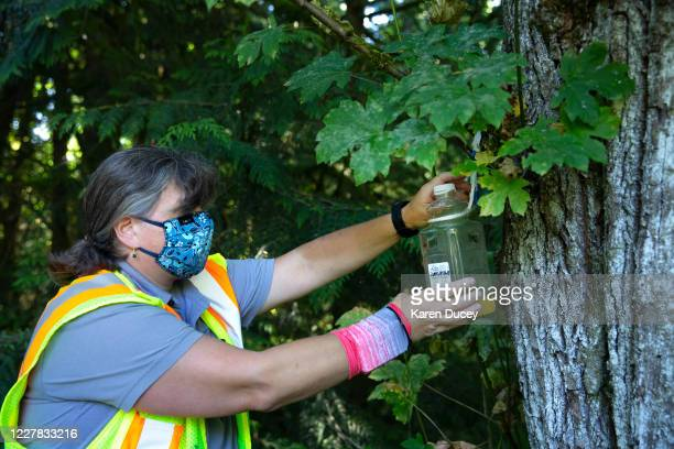 Jenni Cena pest biologist and trapping supervisor from the Washington State Department of Agriculture sets a trap designed to catch Asian Giant...
