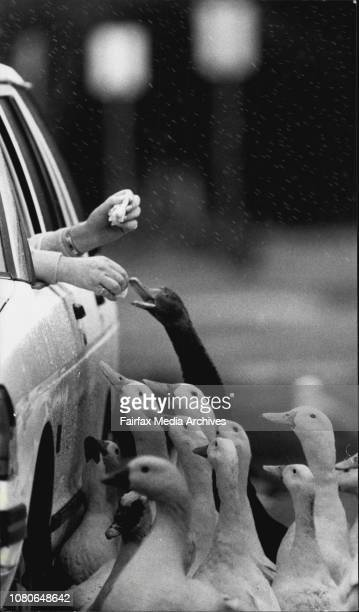Jennifer Anderson of Dee Why is pictured in Centennial Park feeding the duck and pigeons from her car because it was rainingOne pigeon upstaged the...