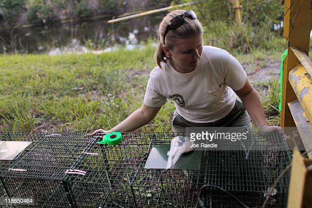 Jennifer Ketterlin Eckles Florida Fisheries and Wildlife Biological Scientist sets a trap for a Nile monitor lizard along a canal on July 11 2011 in...