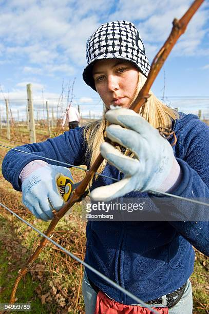 Jenny Allen wraps the vines as part of the winter pruning process at one of winemaker Villa Maria Estate Ltd's vineyards in Marlborough New Zealand...