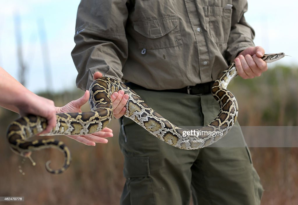Biologists Track Northern African Pythons In Florida's Everglades : News Photo