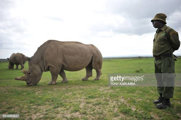 Jeremiah Kimathi one of the dedicated rhino care givers at the olPejeta conservancy stands next to Najin one of the only two remaining female...