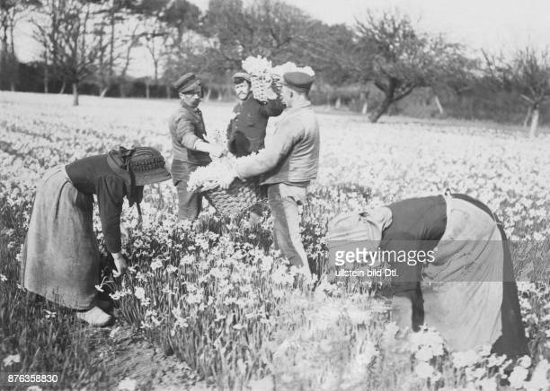 Jersey busy time at the flower farm by JB TB Falle in Gorey employees picking narcissus date unknown around 1903