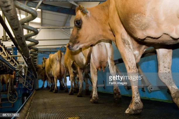 Jersey cattle walking into milking parlour Wales