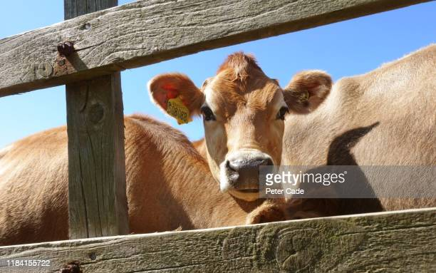 jersey cow looking through gate - animal body part stock pictures, royalty-free photos & images