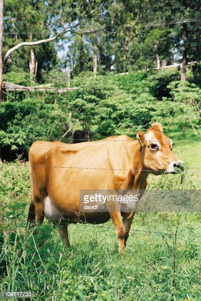 Jersey Cow Standing Behind Barbed Wire Fence in Green Pasture