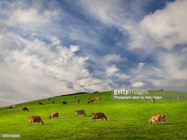 Jersey cows grazing