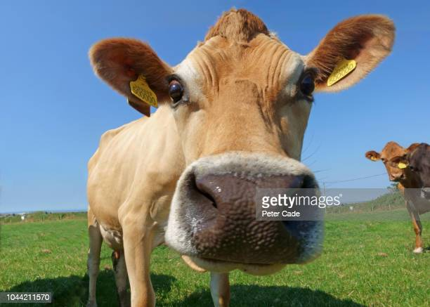 jersey cows in field - herbivorous stock pictures, royalty-free photos & images