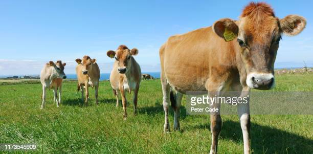 jersey cows in field - farm stock pictures, royalty-free photos & images