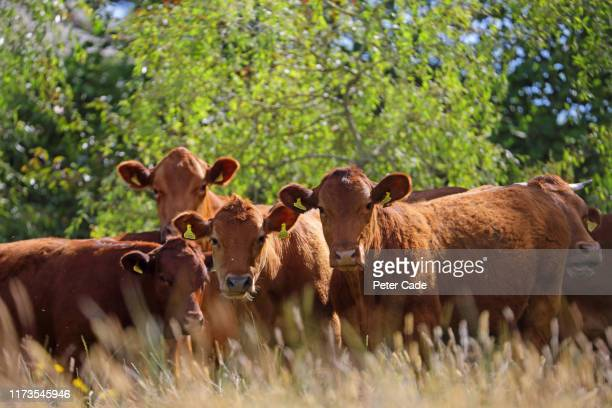 jersey cows in field - rural scene stock pictures, royalty-free photos & images