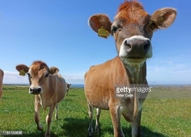 jersey cows in field - animal body part stock pictures, royalty-free photos & images