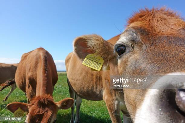 jersey cows in field - cow eyes stock pictures, royalty-free photos & images
