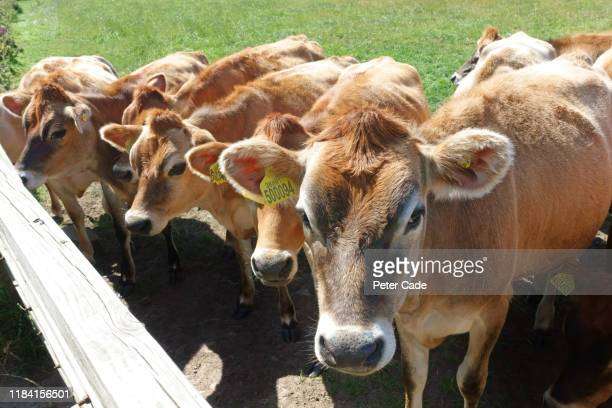 jersey cows in field - medium group of animals stock pictures, royalty-free photos & images