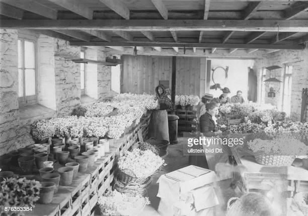 Jersey flower farm by JB TB Falle in Gorey the packing shed bunching the flowers before packing date unknown around 1903