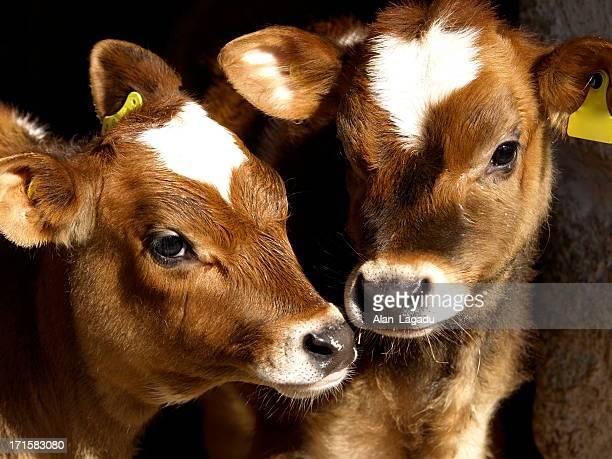 Jersey heifer cows, Channel Islands.
