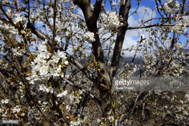 Jerte Valley Extremadura Cherry trees bloom