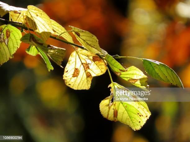 Jesienne liście na drzewie