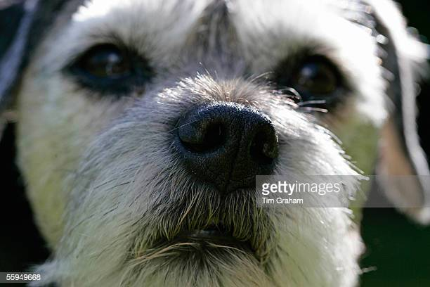 Jess, a Border Terrier Dog close-up with grey muzzle.