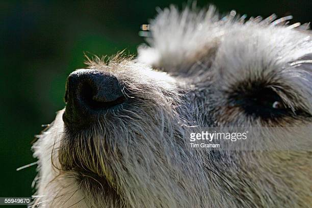 Jess, a Border Terrier dog sniffing the air, England.