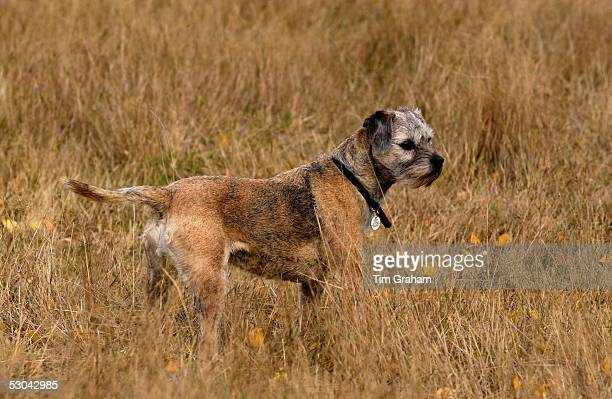Jess, a Border Terrier in a meadow in Oxfordshire, England.