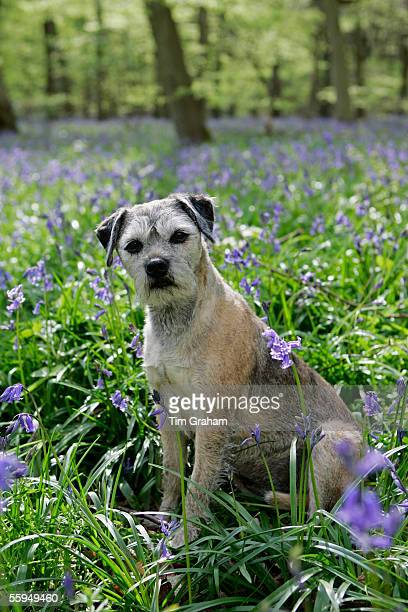 Jess, Border Terrier dog among bluebells in a wood in Oxfordshire, England.