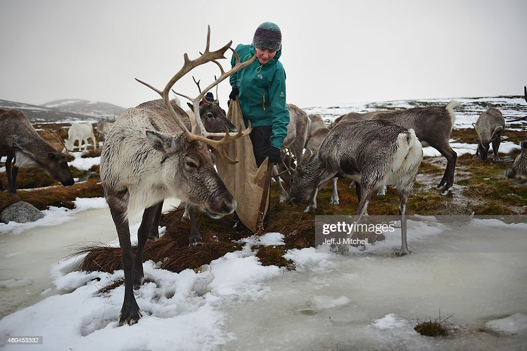 Jess Greaves a reindeer herder at the Cairgorm Herd feeds the deer at The Cairngorms National Park on December 14, 2014 in North East Scotland. Reindeer were introduced to Scotland in 1952 by Swedish Sami reindeer herder, Mikel Utsi. Starting with just a few reindeer, the herd has now grown in numbers over the years and is currently at about 130 by controlling the breeding. The herd rages on 2,500 hectares of hill ground between 450 and 1,309 meters and stay above the tree line all year round regardless of the weather conditions.