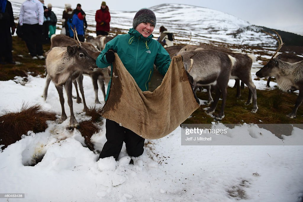 Jess Greaves a reindeer herder at the Cairgorm Herd feeds the deer at The Cairngorms National Park on December 14, 2014 in North East Scotland. Reindeer were introduced to Scotland in 1952 by Swedish Sami reindeer herder, Mikel Utsi. Starting with just a few reindeer; the herd has now grown in numbers over the years and is currently at about 130 by controlling the breeding. The herd rages on 2,500 hectares of hill ground between 450 and 1,309 meters and stay above the tree line all year round regardless of the weather conditions.