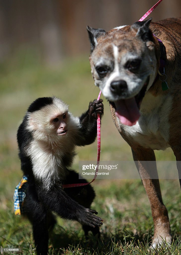 Pet Capuchin Monkey