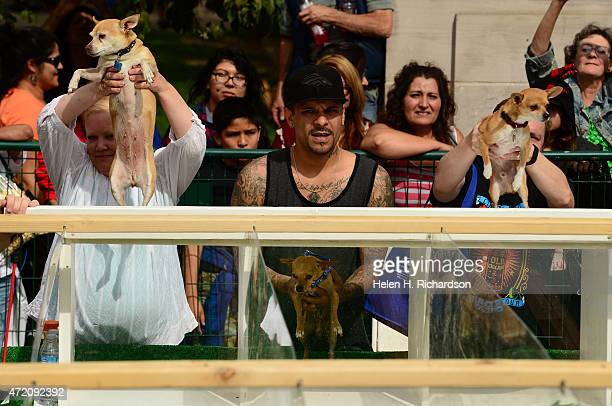 Jesus Baca middle gets his dog Lil' Bit ready for the Chihuahua races at the Cinco de Mayo celebrations in Denver Colorado on May 3 2015 The winner...