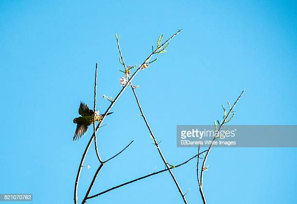 (aratinga canicularis) jetting off - papagayo guanacaste fotografías e imágenes de stock