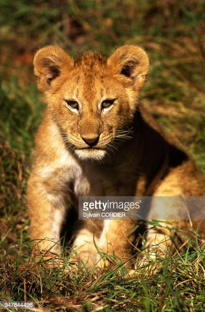 lionceau stock photos and pictures getty images