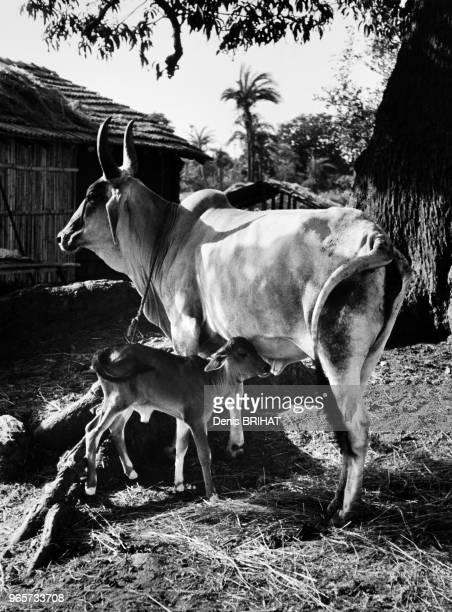 Jeune veau et vache Inde