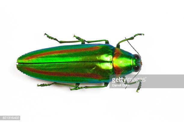 Jewel beetle Chrysochro rajah thailandica from Thailand