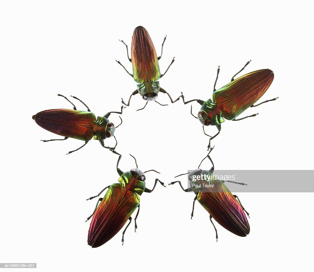 Jewel Beetles Stock Photo - Getty Images