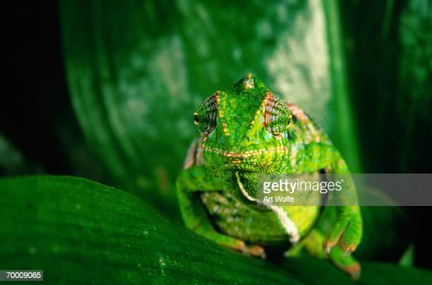 Jewel Chameleon (Chameleo lateralis), Madagascar