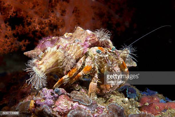 jeweled anemone on an hermit crab - hermit crab stock pictures, royalty-free photos & images