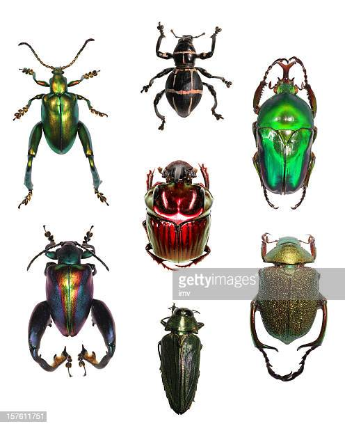 jewell beetle collection on white xxxl - beetle stock pictures, royalty-free photos & images