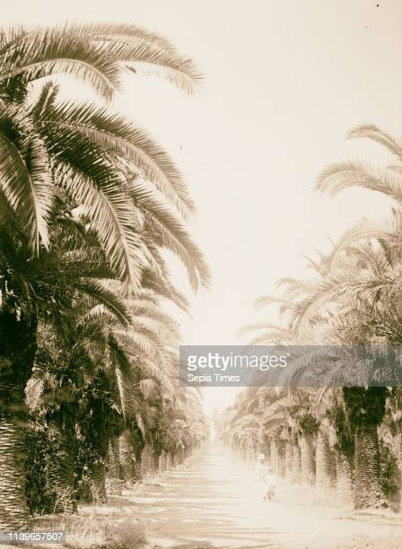 Jewish colonies and settlements Richon le Zion Avenue of date palms in Richon 1920 Israel Rishon leTsiyon