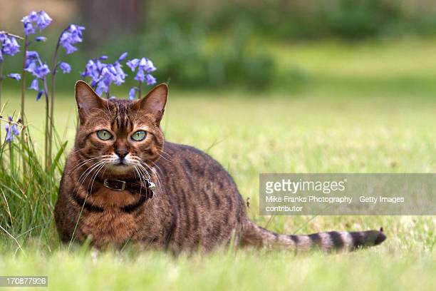 jezebel in bluebells - bengal cat stock pictures, royalty-free photos & images