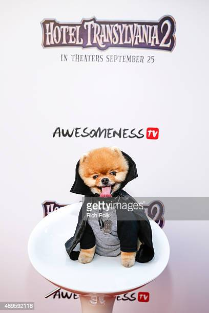Jiff The Pomeranian attends the Hotel Transylvania 2 Special Screening Hosted By Awesomeness TV Fifth Harmony at Sony Pictures Studios on September...