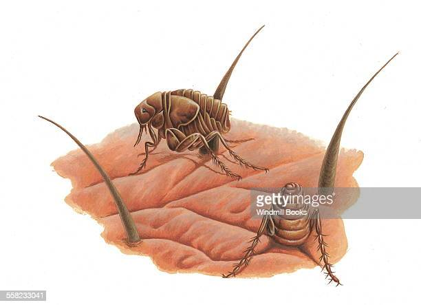 Jigger fleas burrow into exposed skin on mammals
