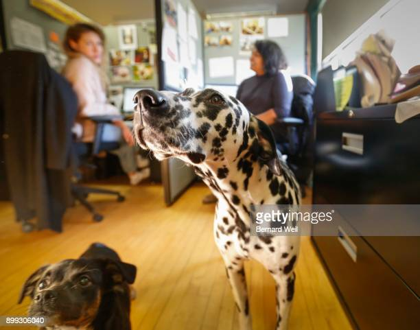 TORONTO ON NOVEMBER 27 Jigsaw a pug terrier poodle chihuahua mix and Hailey a dalmation are owned by employees and have the run of the office at the...