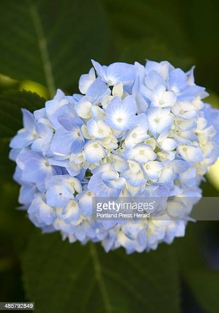 Blue hydrangeas are in full bloom at many gardens on display at the Hidden Gardens of Munjoy Hill 6th Annual Garden Tour Sunday July 10 2011 in...