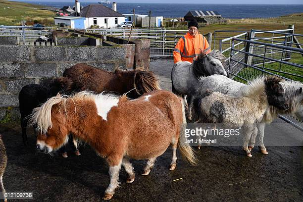 Jim and Sheila Gear attend to their Shetland Ponies Island of Foula on September 29, 2016 in Foula, Scotland. Foula is the remotest inhabited island...